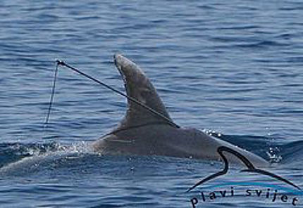 Harpooned dolphin in the Adriatic becomes Croatia's hero