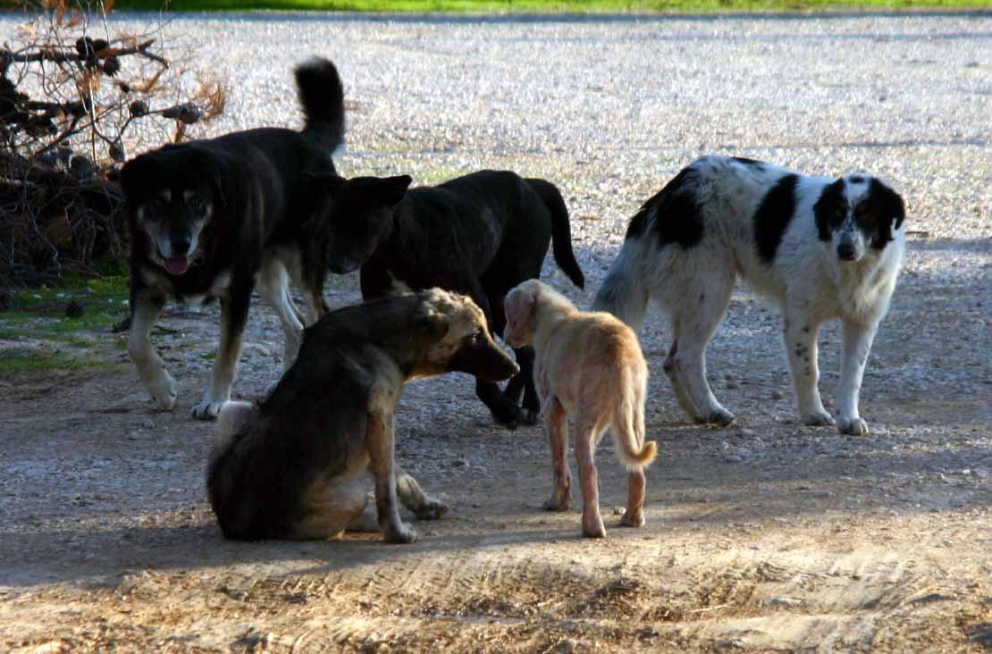 Romanian lawmakers OK stray dogs' euthanasia