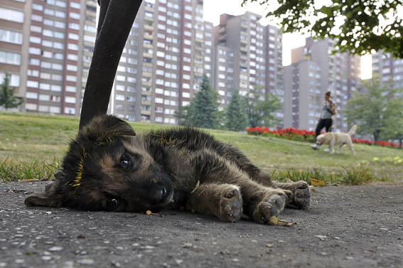 The Number of Stray Dogs in Sarajevo Stagnant