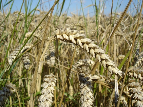 Bulgaria's annual wheat crop to drop up to 25% because of floods – agriculture minister