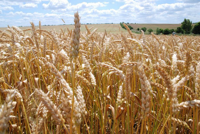Bulgaria could see new record wheat crop in 2014 – agriculture minister