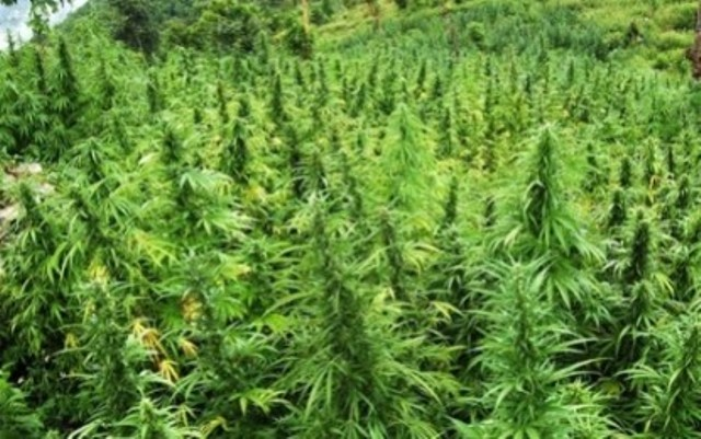 Police operation against cannabis plantations in Lazarat continues, one police officer remains wounded