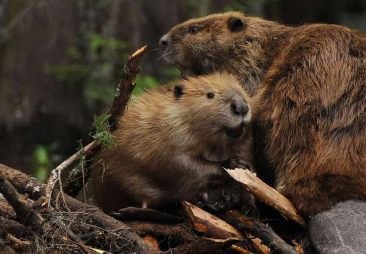 Beaver returns to Danube Delta after 200 years