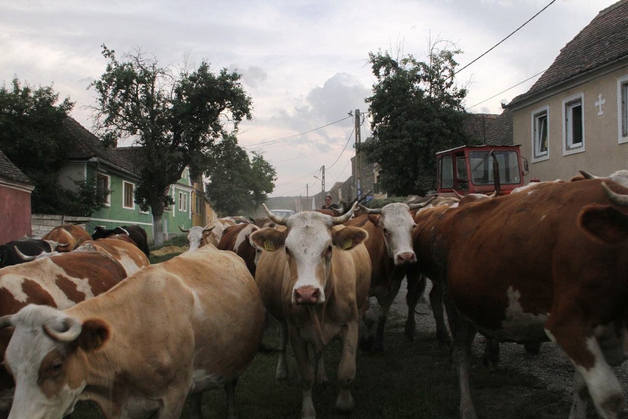 Russia bans beef and cattle imports from Romania