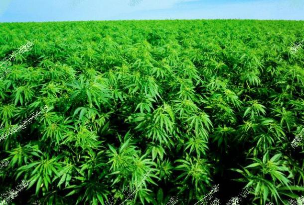 The way is paved for the growing of Hemp in Cyprus