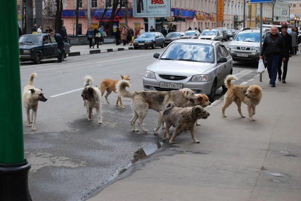 Stray dogs terrorize Sarajevo citizens