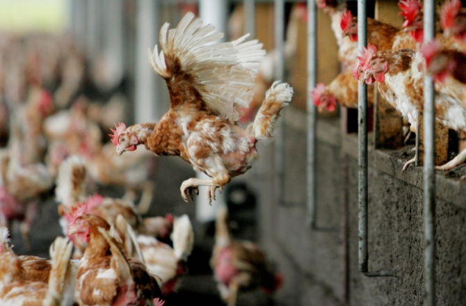 FYROM bans chicken and other products from Bulgaria