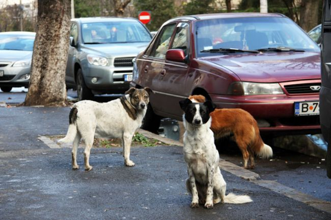Bucharest City Hall alleges the capital is almost rid of stray dogs