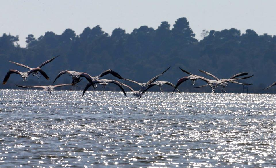 A rare pelican is added to the Divjaka National Park