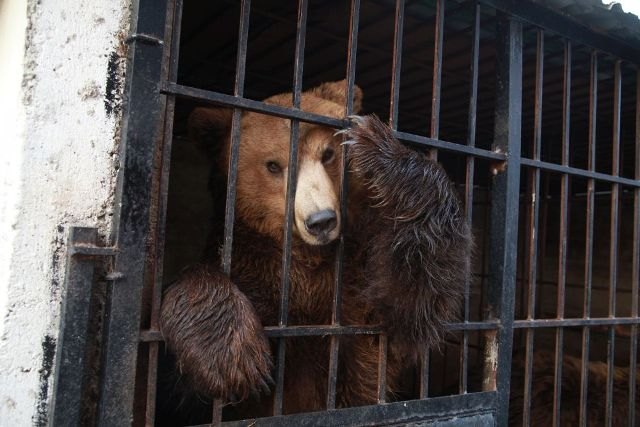 Bears in Albania face terrible conditions of captivity