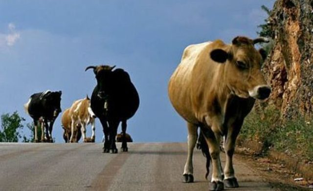 Cattle disease has turned into an epidemic in Kosovo