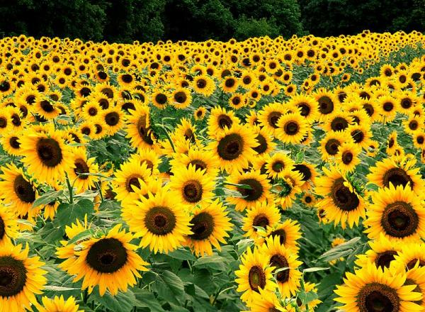 Romania, first in EU on cultivated area and sunflower production