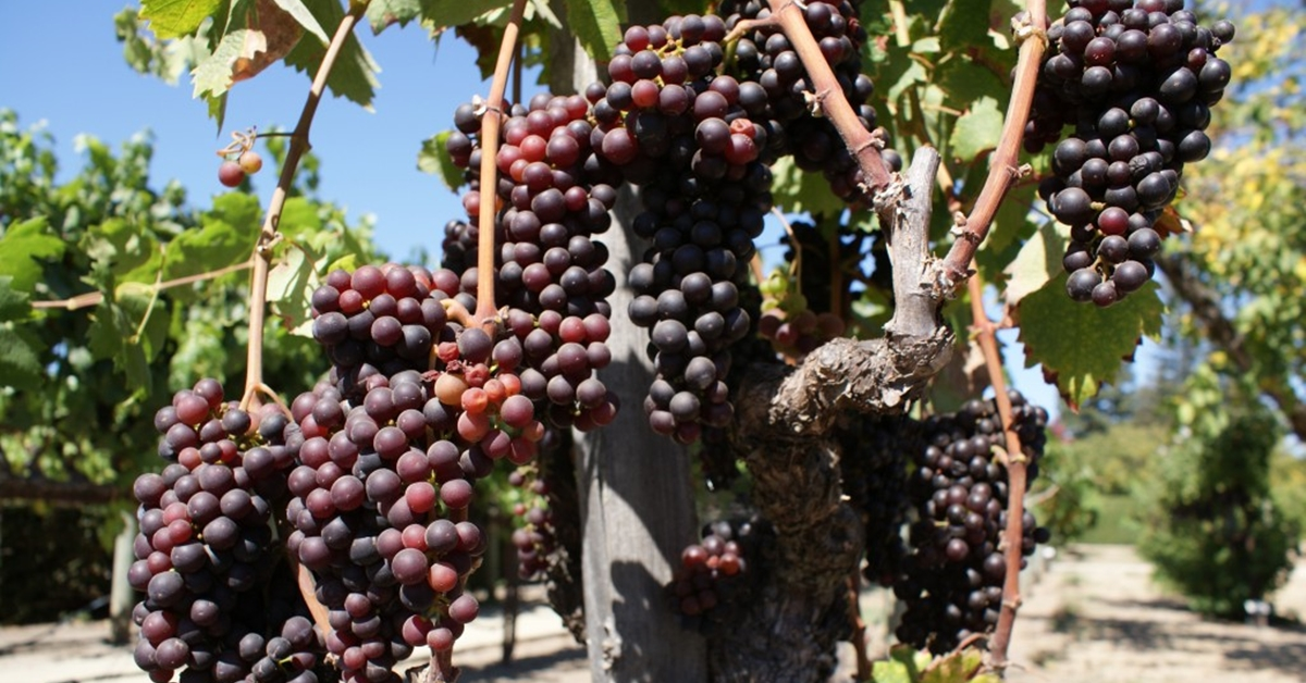 Bulgarian wine grape growers say 2017 is best crop for the past five years