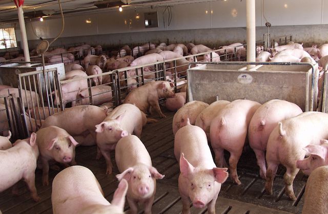 African swine fever worries Croatian hog farmers