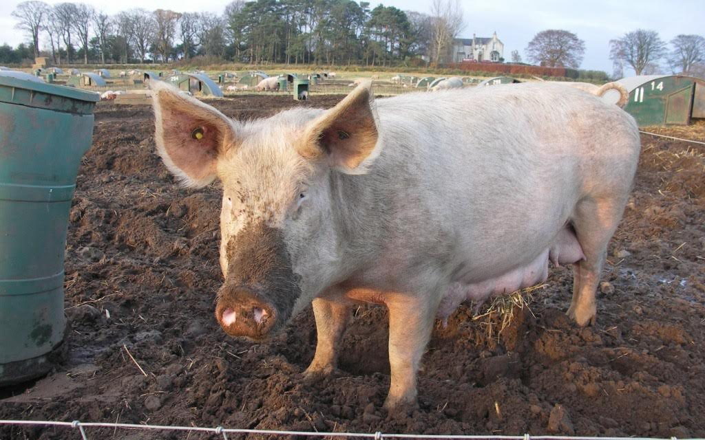 African Swine Fever: Russia puts temporary ban on imports of pork from Bulgaria