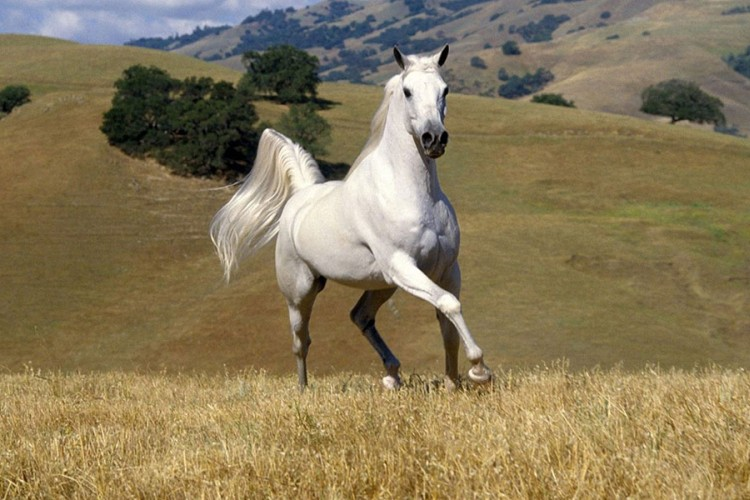Eight countries file request for the inclusion of Lipizzaner horses in UNESCO list