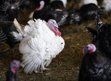 Εστία γρίπης των πτηνών εντοπίστηκε σε πτηνοτροφείο στοMaramureş
